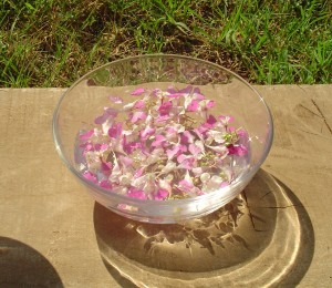 Réalisation d'un élixir de de fleur d'impatience, selon la méthode du Dr Bach. Photo Pryska Ducoeurjoly